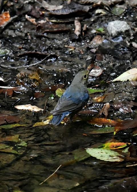 コルリ♂幼鳥4053