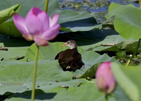 バン若鳥4105