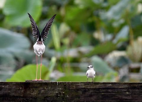 クロハラアジサシ幼鳥2932