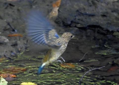 オオルリ♂幼鳥4371