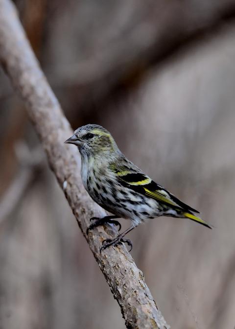 マヒワ若鳥3273
