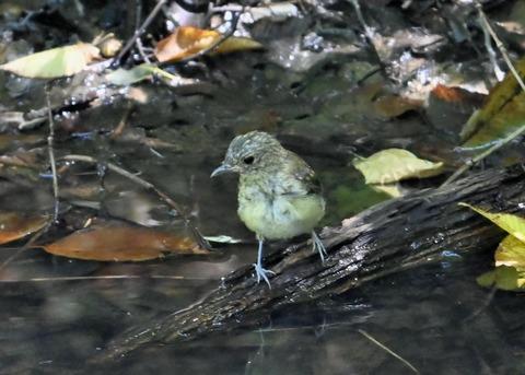 キビタキ幼鳥3400