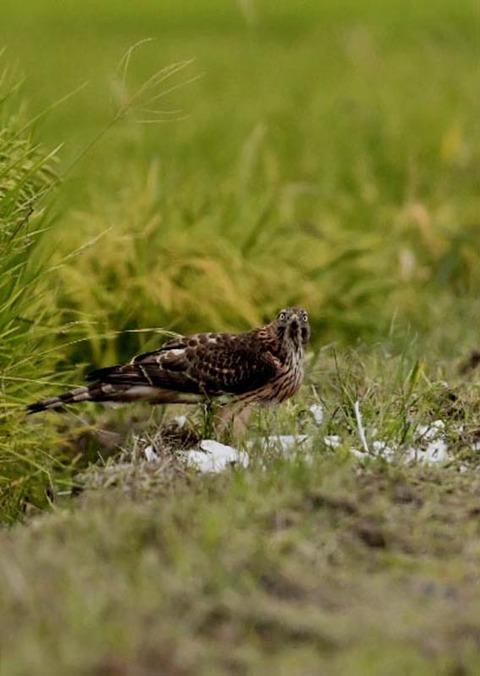 オオタカ若鳥3250