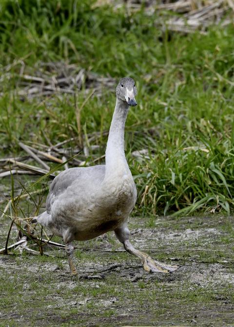 オオハクチョウ幼鳥3537