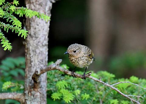 ルリビタキ幼鳥2554