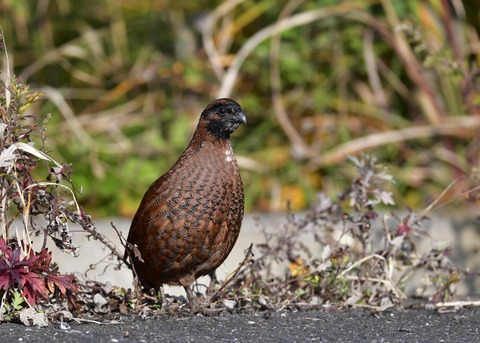 コリンウズラ若鳥1750