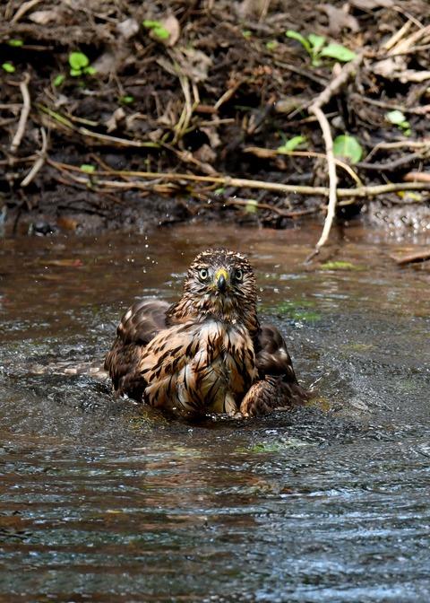 オオタカ幼鳥3968