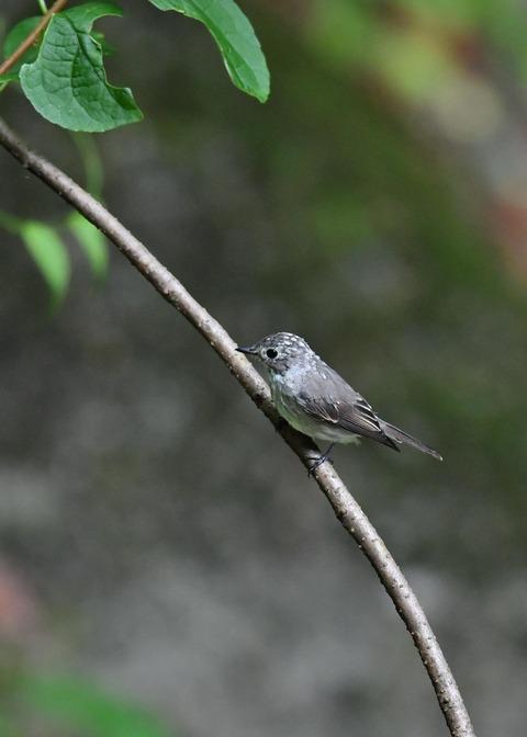 コサメビタキ幼鳥0234