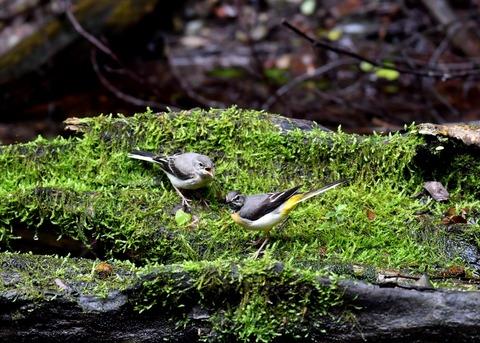 キセキレイ幼鳥8228