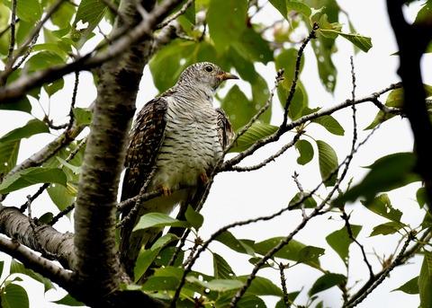 ツツドリ幼鳥5629