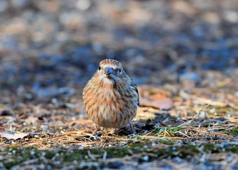 オオマシコ若鳥9510