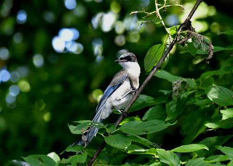 オナガ幼鳥0430