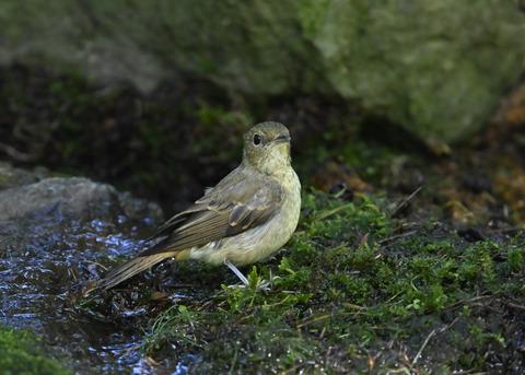 キビタキ♀幼鳥1339