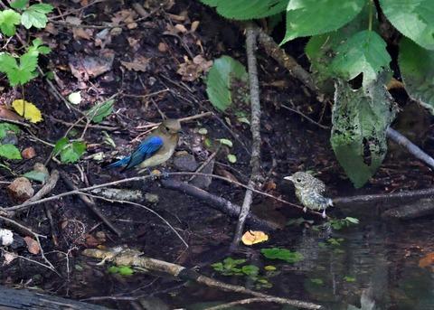 オオルリ♂幼鳥4141