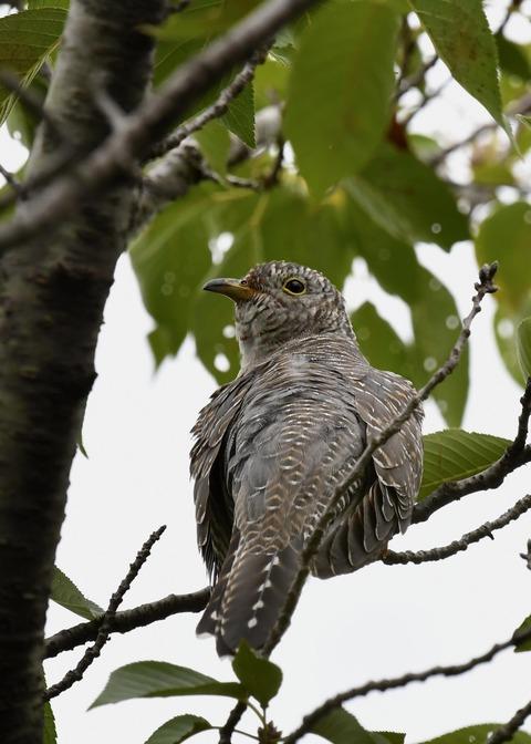 ツツドリ幼鳥5660