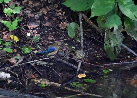 オオルリ♂幼鳥4129