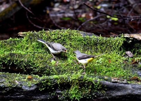 キセキレイ幼鳥8219