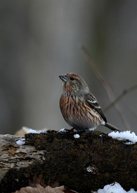 オオマシコ若鳥9600