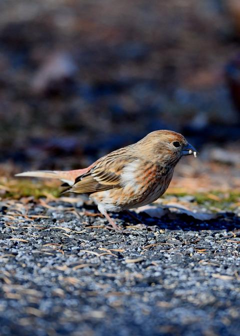 オオマシコ若鳥9519