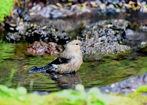 ウソ幼鳥2268