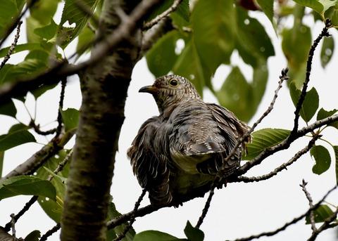 ツツドリ幼鳥5533