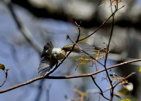 飛ぶ・ムギマキ♀5195