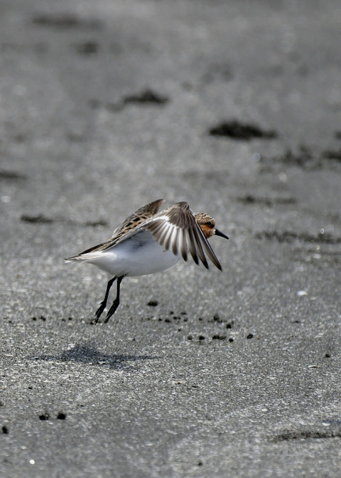 飛ぶ・トウネン夏羽8282