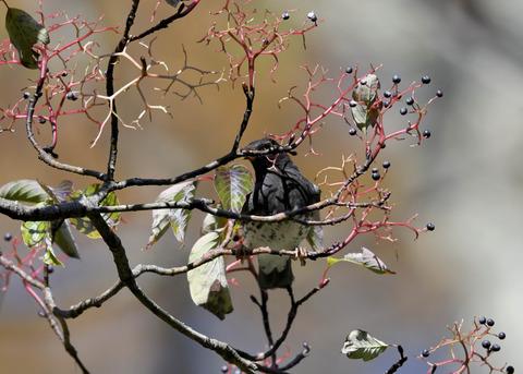 クロツグミ幼鳥3353