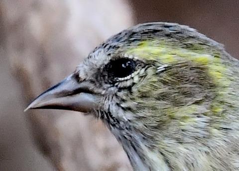 マヒワ若鳥3278
