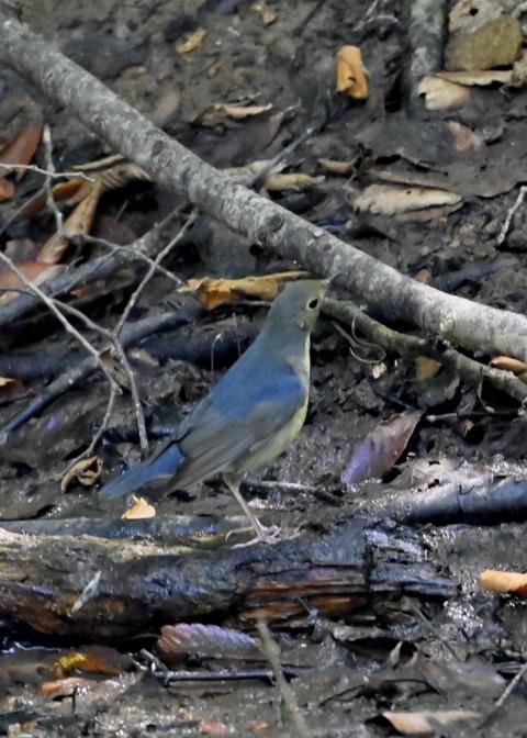 コルリ♂幼鳥2639