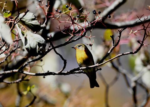 ムギマキ若鳥①♂4427