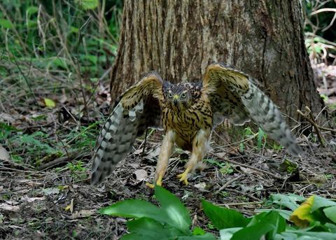 オオタカ幼鳥3548