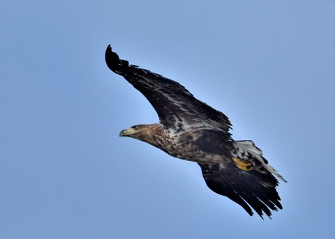 オジロワシ若鳥9279