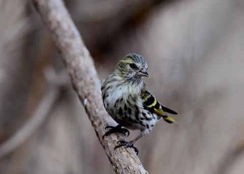 マヒワ若鳥3275