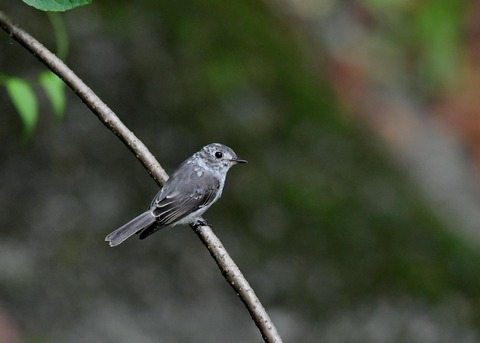 コサメビタキ幼鳥0253