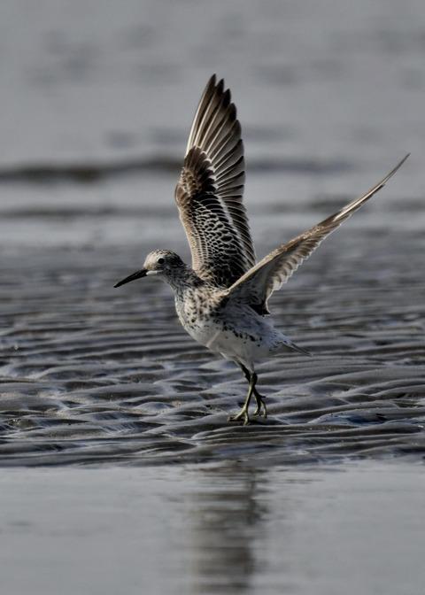 飛ぶ・オバシギ幼鳥4142