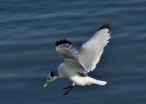 ミツユビカモメ成鳥4905