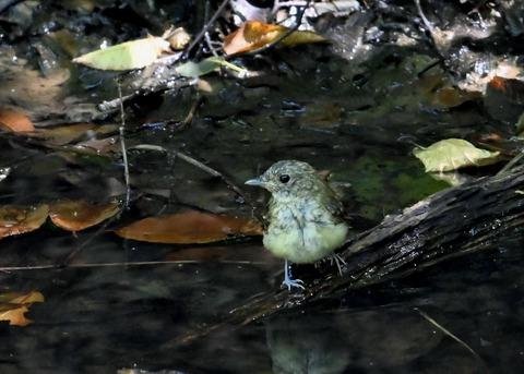 キビタキ幼鳥3447