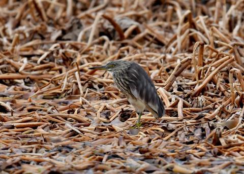 アカガシラサギ冬羽5638