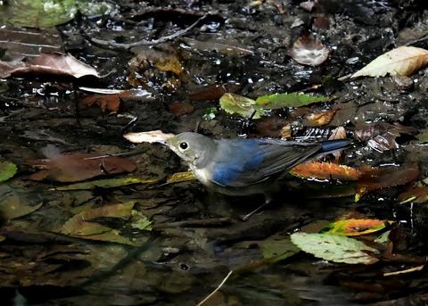 コルリ♂幼鳥4049