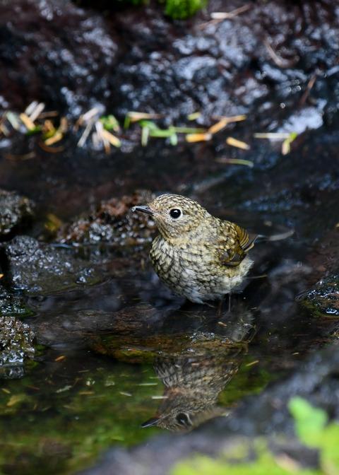 ルリビタキ幼鳥4037