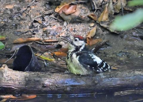 アカゲラ♂幼鳥3668