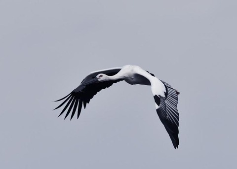 飛ぶ・コウノトリ3395