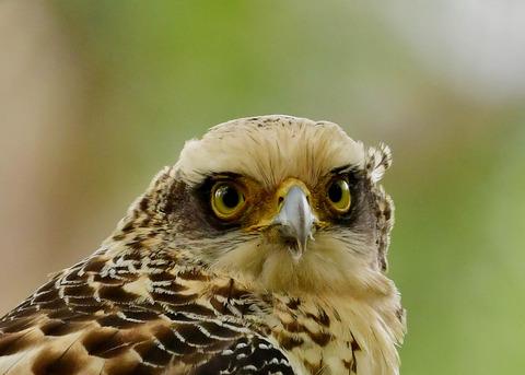 カンムリワシ若鳥6325