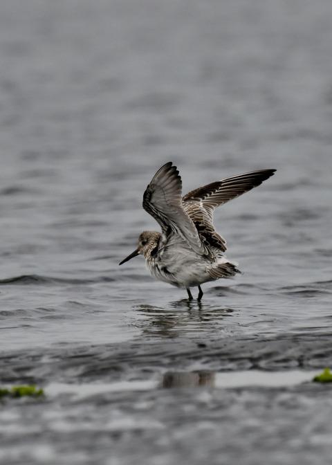 飛ぶ・オバシギ幼鳥4578