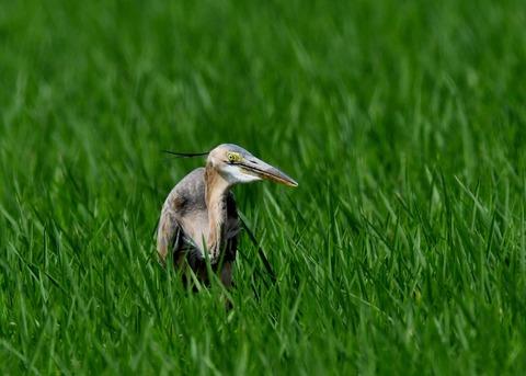 ムラサキサギ若鳥2717