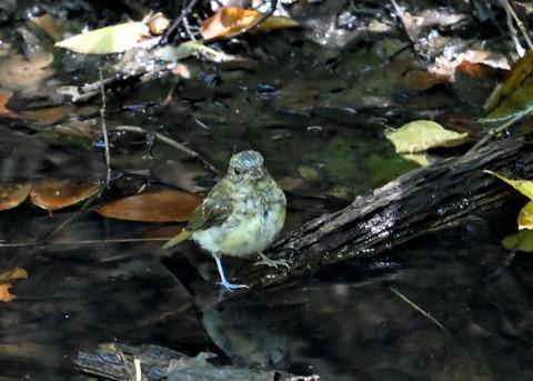 キビタキ幼鳥3418