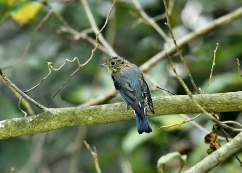 オオルリ♂若鳥0490
