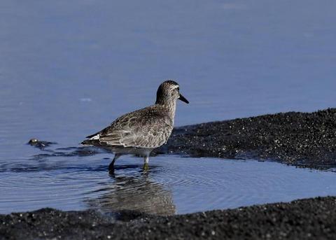 コオバシギ幼鳥0179