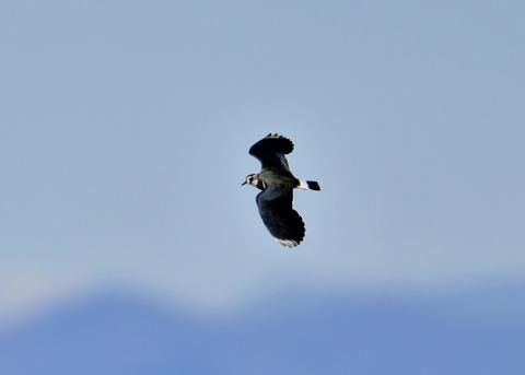 飛ぶ・タゲリ1797